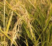 お米も採れます