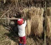 お米の稲架掛け