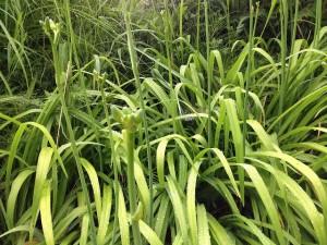 野萱草の蕾