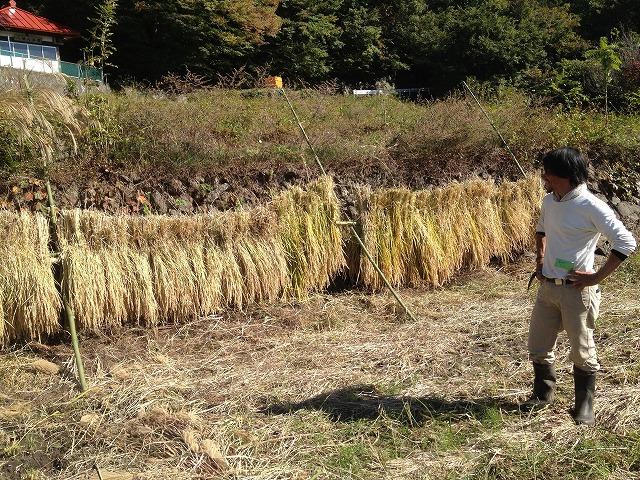 稲刈り+稲架掛け♪ ~大阪から自然農の先生が~