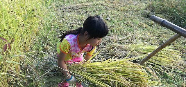 稲刈り+稲架掛けイベントの様子