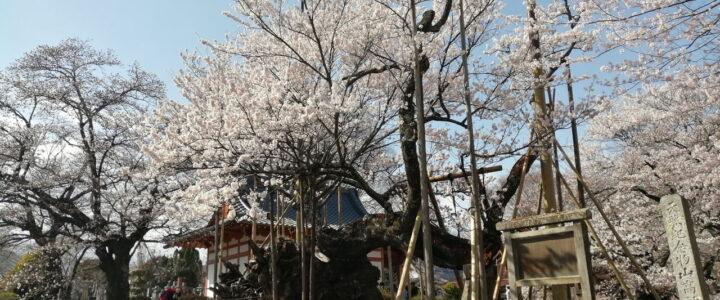 実相寺に花見に ~山高神代桜~